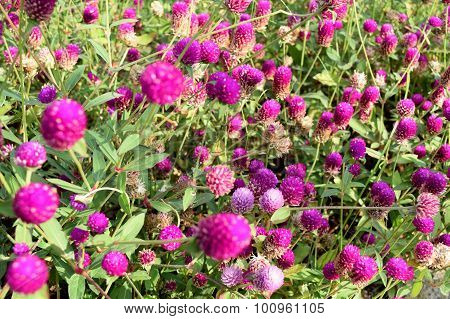 AMARANTH or Bachelor's button, Button agaga, Everlasting, Gomphrena, Globe amaranth, Pearly Everlast