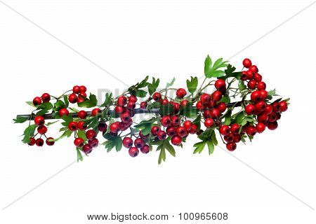 Red Ripe Hawthorn Berries