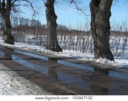 Winter trees along a slushy spring road