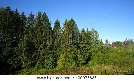 Spruce Tree And Marsh