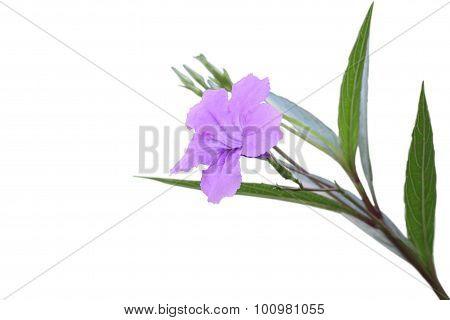 Single ruellia tuberosa flower focus lower one on white background.
