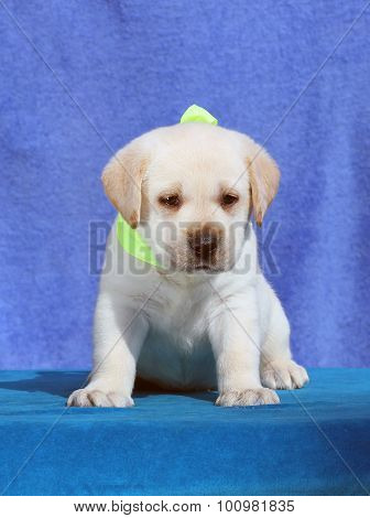 A Cute Little Labrador Puppy On A Blue Background