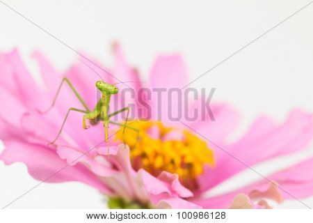 Green Praying Mantis Nymph On Flower