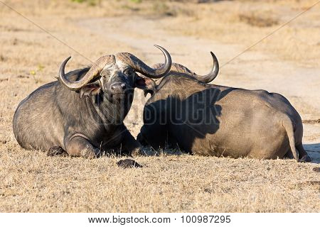 Two Tired Cape Buffalo Lay Down On Brown Grass To Rest