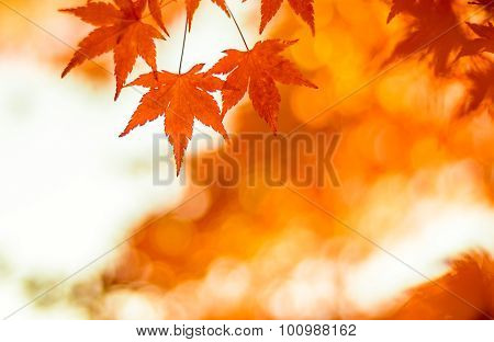 Autumnal Background, Slightly Defocused Red Marple Leaves
