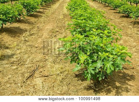 Plantation Of Fig Trees