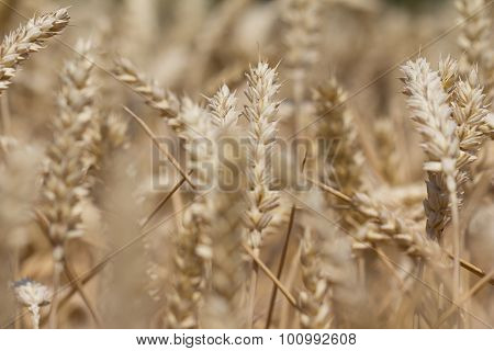 Many Wheat Plants In Fall Ready For Harvesting