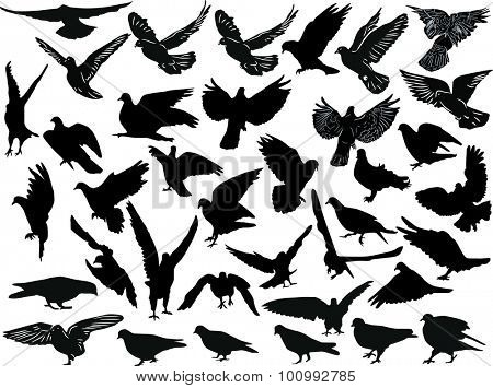 illustration with thirty seven black pigeon collection isolated on white background