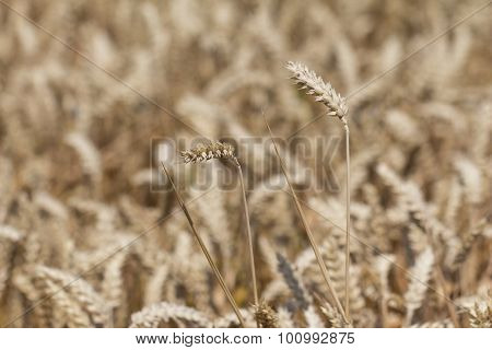 Golden White Wheat Field At Harvest Time