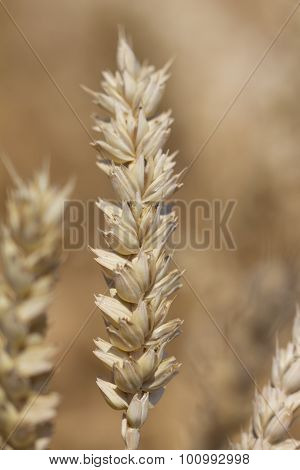 One Wheat Plant In Nature