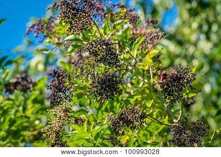 Elderberry Tree With Black Berries