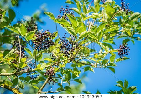 Elderberries On A Twig In The Nature