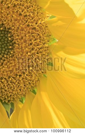 Sunflower head close-up brightly lit by sun