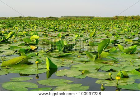 The Danube Delta with lily pads in Romania