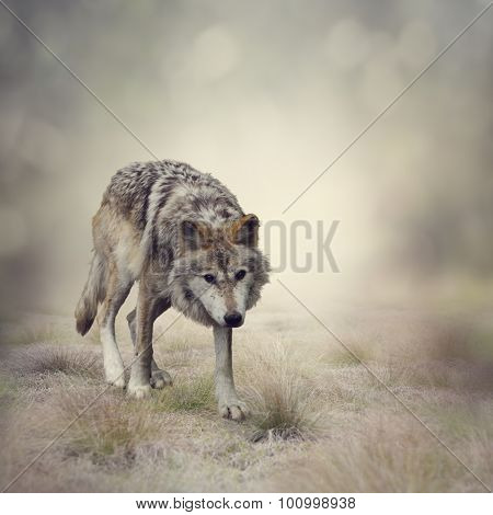 Portrait of Gray Wolf Walking