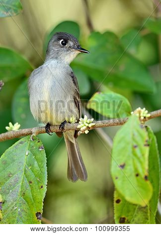 Cuban Pewee (contopus Caribaeus)