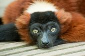 Beautiful Red Ruffed Lemur
