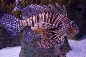 image of scorpion  - Scorpion Fish swimming in Lisbon Aquarium, Portugal ** Note: Visible grain at 100%, best at smaller sizes - JPG