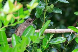 picture of bulbul  - A young Streak - JPG