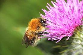 pic of scottish thistle  - Closeup macro of a honey bee on a purple thistle - JPG