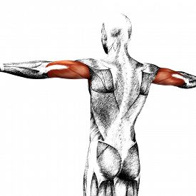 image of triceps brachii  - Concept or conceptual 3D triceps human anatomy or anatomical and muscle sketch isolated on white background - JPG