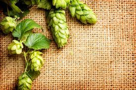 stock photo of brew  - Hop branch close - JPG