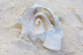 picture of conch  - A beautiful conch shell on the beach in Nassau - JPG