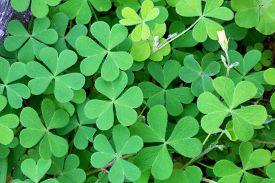 foto of irish moss  - Close - JPG