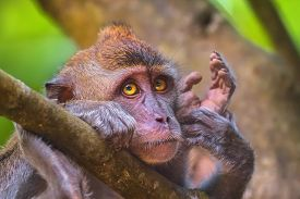stock photo of macaque  - Portrait of sad monkey with bright yellow eyes looking in camera. Crab-eating macaque or the long-tailed macaque, Macaca fascicularis