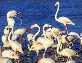 stock photo of pink flamingos  - Pack of pink flamingos look for a forage in lake - JPG