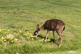 image of blacktail  - a blacktail deer doe in a field along the california coast - JPG