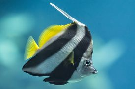picture of butterfly fish  - A colorful Schooling Bannerfish. Scientific Name: Heniochus diphreutes. Also known as False moorish idol Pennantfish Pennant Butterfly fish. Native to areas near Africa.