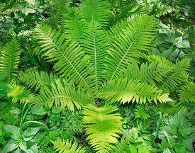 stock photo of fern  - foliage forest fern closeup - JPG