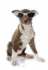 foto of collier  - puppy border collier in front of white background - JPG