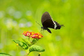 foto of lantana  - Common Mormon butterfly Papilio palytes on Lantana flower - JPG
