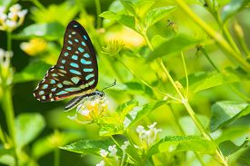 stock photo of lantana  - Spotted Jay butterfly Graphium arycles on Lantana flower - JPG