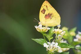 stock photo of lantana  - Lemon emigrant butterfly Catopsilia pomona on Lantana flower - JPG