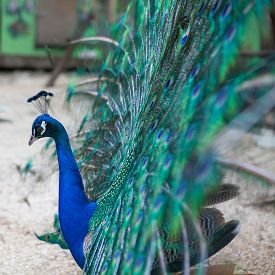 pic of fairy tail  - Beautiful peacock showing its beautiful tail feathers - JPG
