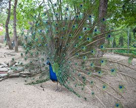 foto of fairy tail  - Big peacock showing its beautiful feathers on tail - JPG