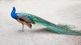 image of fairy tail  - Peafowl and its beautiful tail feathers - JPG