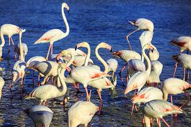 pic of pink flamingos  - Evening in the National Park of the Camargue - JPG