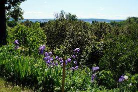 stock photo of purple iris  - Purple bearded rhizomatous irises (Iris germanica) bloom at the edge of the bluff in Harbor Springs, Michigan. ** Note: Soft Focus at 100%, best at smaller sizes - JPG