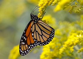 stock photo of goldenrod  - A Monarch Butterfly  - JPG