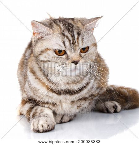 poster of big cat, beautiful cat, purebred cat, fluffy cat, proud cat - cute Scottish straight cat bicolor striped isolated on white background, looking down