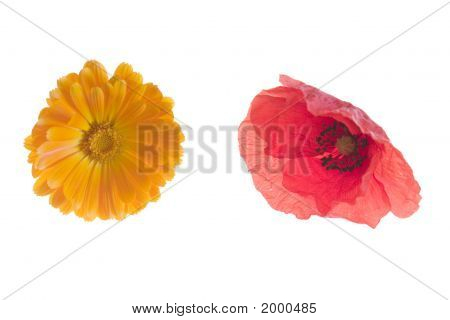 Daisy And Wild Poppy
