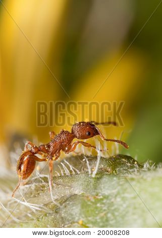 Solitary Ant