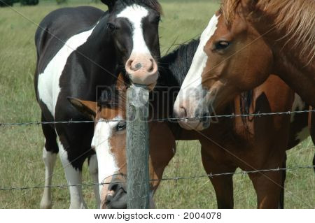 Horses Munching On Fencepost