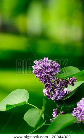 leaves and lilac flowers