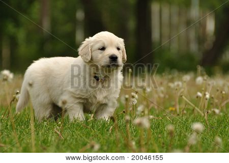Golden retriever puppy between dandelions
