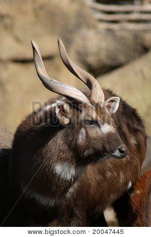 Sitatunga - Tragelaphus Spekii